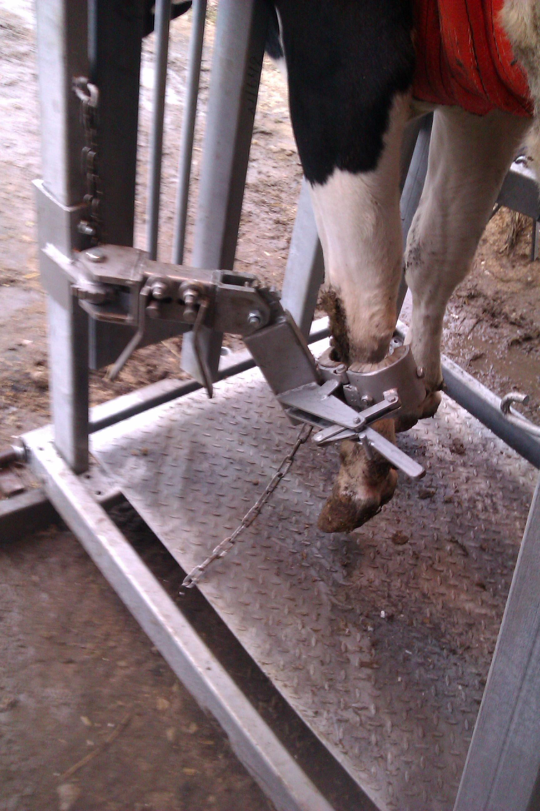 Станок для чистки копыт коров
