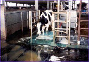 корова в копытной ванне_2