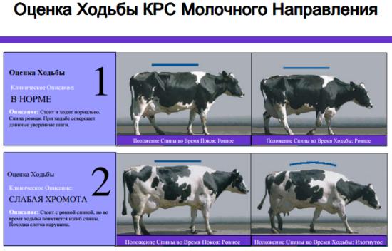 Оценка ходьбы коров молочного направления