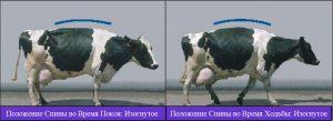 оценка хромоты КРС: средняя хромота