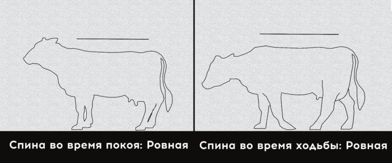1 степень хромоты коровы, здоровая