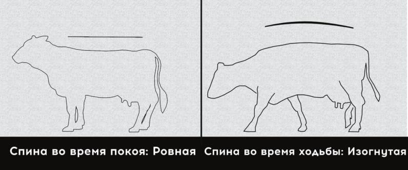 2 степень хромоты коровы, слегка хромает