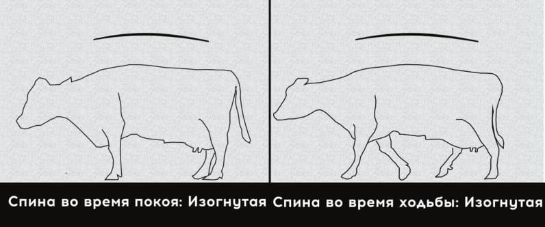3 степень хромоты коровы. Умеренная хромота