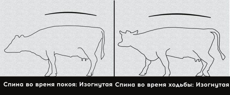 4 степень хромоты коровы. Сильная хромота