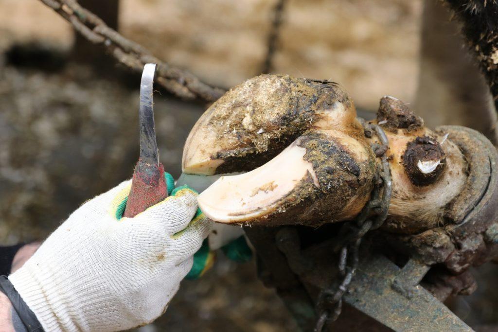 процесс обрезки копыт